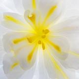 Washington State, Seabeck. Begonia Blossom Close-Up Fotografisk tryk af Jaynes Gallery