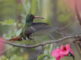 Hovering Male Rufous-Tailed Hummingbird, Costa Rica Photographic Print by Tim Fitzharris