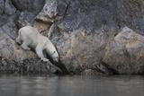 Europe, Norway, Svalbard. Polar Bear Moves Toward Water Photographic Print by Jaynes Gallery