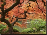 Japanese Maple, Portland Japanese Garden, Oregon, USA Stretched Canvas Print by William Sutton