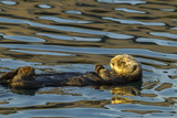 California, Morro Bay. Sea Otter Resting on Ocean Surface Photographic Print by Jaynes Gallery
