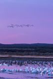 New Mexico, Bosque Del Apache National Wildlife Refuge. Snow Geese and Sandhill Cranes at Sunrise Photographic Print by Jaynes Gallery
