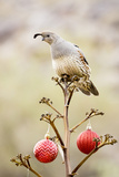 Arizona, Buckeye. Gambel's Quail Atop a Decorated Agave Stalk at Christmas Time Papier Photo par Jaynes Gallery