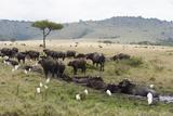 African Buffalo, Masai Mara, Kenya Photographic Print by Sergio Pitamitz