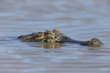 Brazil, Mato Grosso, the Pantanal, Rio Cuiaba. Black Caiman in Water Photographic Print by Ellen Goff