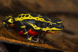 Lemon Harlequin Frog, Ecuador Photographic Print by Pete Oxford
