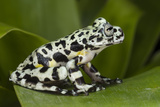 Tiger Tree Frog, Ecuador Photographic Print by Pete Oxford