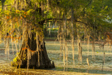 Louisiana, Lake Martin. Cypress Tree in Swamp Photographic Print by Jaynes Gallery