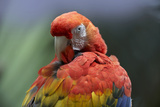 Scarlet Macaw Preening, Costa Rica Photographic Print by Tim Fitzharris
