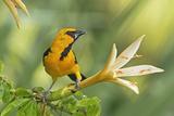 Central America, Yucatan, Mexico. Altamira Oriole in Tabebuia or Caribbean Trumpet Tree Reproduction photographique par David Slater
