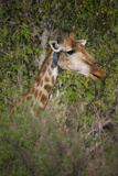 Africa, Botswana, Moremi Game Reserve. Giraffe Close-Up Photographic Print by Jaynes Gallery