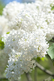 Massachusetts, Boston, Arnold Arboretum, White Lilac Tree Photographic Print by Jim Engelbrecht