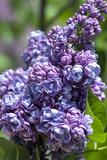 Massachusetts, Boston, Arnold Arboretum, Purple Lilac Tree Photographic Print by Jim Engelbrecht
