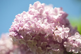 Massachusetts, Boston, Arnold Arboretum, Pink Lilac Tree Photographic Print by Jim Engelbrecht