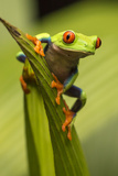 Costa Rica. Red-Eyed Tree Frog Close-Up Photographic Print by Jaynes Gallery