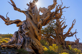 California, White Mountains Wilderness. the Sentinel Tree Bristlecone Pine Photographic Print by Jaynes Gallery