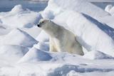 Arctic, Norway, Svalbard, Spitsbergen, Pack Ice, Polar Bear Polar Bear Rubbing on Ice Photographic Print by Ellen Goff