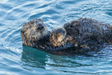 California, Morro Bay. Sea Otter Parent and Pup Photographic Print by Jaynes Gallery