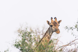 Botswana. Chobe National Park. Giraffe Peeks over a Tree Photographic Print by Inger Hogstrom