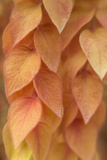 New Mexico, Santa Fe. Yellow Leaves Close-Up Photographic Print by Jaynes Gallery