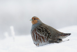 Gray Partridge Reproduction photographique par Ken Archer
