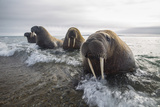 Europe, Norway, Svalbard. Walruses Emerge from the Sea Fotografisk tryk af Jaynes Gallery