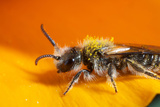 California. Bee Pollinating a Flower Photographic Print by Jaynes Gallery