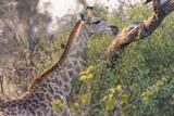 Botswana. Okavango Delta. Khwai Concession. Giraffe Photographic Print by Inger Hogstrom
