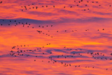 New Mexico, Bosque Del Apache National Wildlife Refuge. Snow Geese Flying at Sunrise Photographic Print by Jaynes Gallery