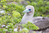 Ecuador, Galapagos Islands, Genovesa, Darwin Bay Beach, Red-Footed Booby Perching in Foliage Photographic Print by Ellen Goff