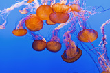 Sea Nettles, Monterey, California, Usa Photographic Print by Russ Bishop