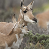 Pronghorn Doe with This Years Fawn, Grand Tetons National Park, Wyoming Photographic Print by Maresa Pryor