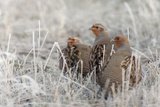 Gray Partridge Photographic Print by Ken Archer