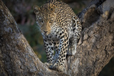 Africa, Zambia. Portrait of Leopard in Tree Photographic Print by Jaynes Gallery