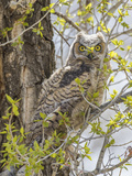 Wyoming, Lincoln County, a Great Horned Owl Fledgling Sits in a Leafing Out Cottonwood Tree Photographic Print by Elizabeth Boehm