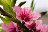 Pink Peach Blossom Macro Close-Up, Village, Chengdu, Sichuan, China Photographic Print by William Perry