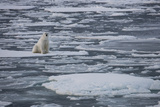 Norway, Svalbard, Spitsbergen. Polar Bear Rests on Sea Ice Photographic Print by Jaynes Gallery