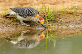 Texas, Hidalgo County. Golden-Fronted Woodpecker Drinking Photographic Print by Jaynes Gallery