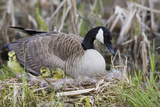 Canada Goose on Nest with Newly Hatched Goslings Photographic Print by Ken Archer