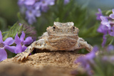 Horned Lizard Among Desert Verbena, New Mexico Usa Photographic Print by Tim Fitzharris