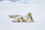 Norway, Svalbard, Pack Ice, Polar Bear Rolling to Clean Fur Photographic Print by Ellen Goff