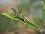 Green Anole, Florida, Summer Photographic Print by Tim Fitzharris