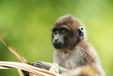 Asia, Indonesia, Sulawesi, Buton Island. Juvenile Buton Macaque Photographic Print by David Slater