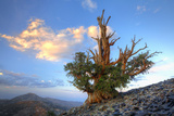 California. Bristlecone Pine Tree in White Mountains Photographic Print by Jaynes Gallery