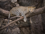 Africa, Zambia. Leopard in Tree Photographic Print by Jaynes Gallery
