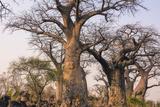 Botswana. Chobe National Park. Savuti. Baobab Trees with Branches Like Gnarled Hands Photographic Print by Inger Hogstrom