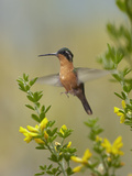 Female Gray-Tailed Mountain-Gem Hummingbird About to Land, Costa Rica Photographic Print by Tim Fitzharris