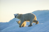 Polar Bear and Cub Walking on Sea Ice at Sunset Near Harbor Islands,Canada Photographic Print by Paul Souders