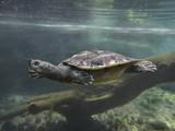 Giant Asian Pond Turtle Swimming Underwater, Singapore Fotoprint van Tim Fitzharris