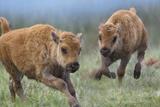 Baby Bison Running, Wyoming, Usa Photographic Print by Tim Fitzharris